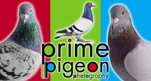 Prime Pigeon Photography